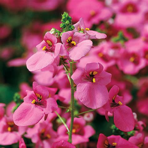 Lavender Pink diamonte lavender pink diascia seeds from park seed
