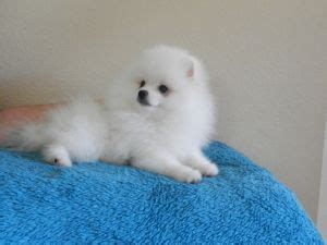 teacup pomeranians for sale in louisiana miniature pomeranian puppies for sale in louisiana