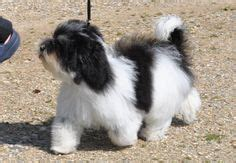 ambler havanese havanese dogs on havanese dogs havanese puppies and dogs