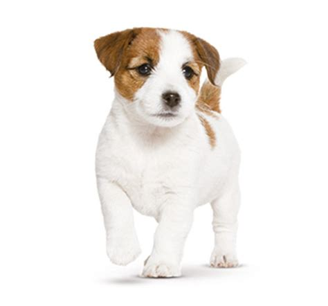 picture of puppy puppy food and how much to feed a puppy royal canin