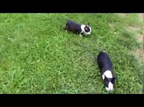 boston terrier puppies for sale in ky belgian malinois puppies for sale louisville kentucky