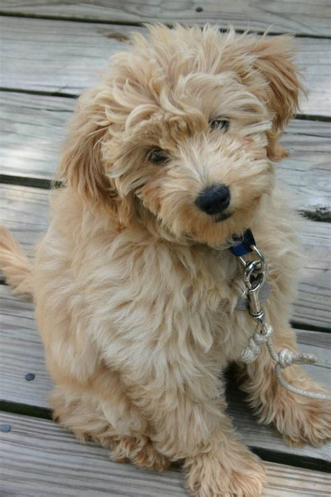 mini labrador doodle it s a baby mini goldendoodle so stink puppies