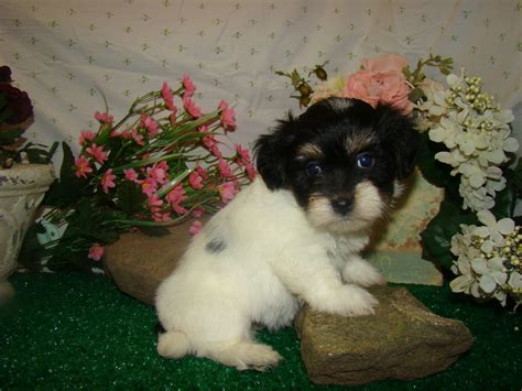can havanese be left alone all list of different dogs breeds havanese