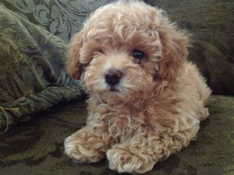 bichon mixed with shih tzu bichon frise shih tzu mix also known as a teddy breed 20150513 3 jpg