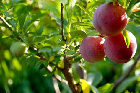 beautiful fruit trees 40 beautiful specimens of fruit in 1 amazing specimen tree