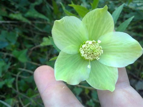 fiori verde acqua fiore verde helleborus sp forum natura