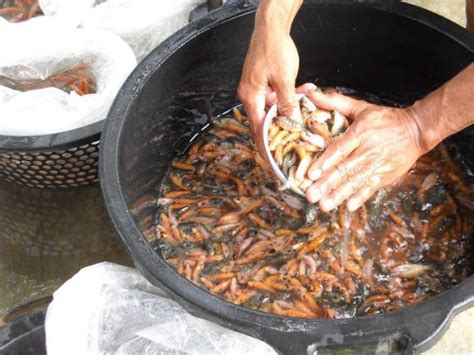 Usaha Pembenihan Ikan Bawal Di Berbagai Wadah Kholish Mahyuddin butuh benih ikan sheva fish aja malhikdua