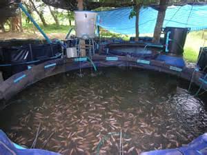 tilapia farming tanks the most efficient aquaponics