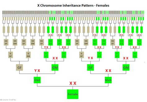 pattern component chromosome theory inheritance x chromosome inheritance chart female genealogy