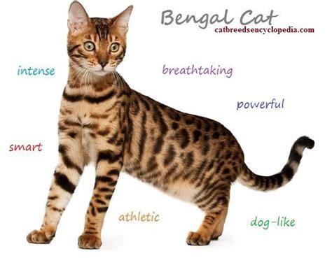 Bengal Cat   Characteristics & Behaviour: What to Consider