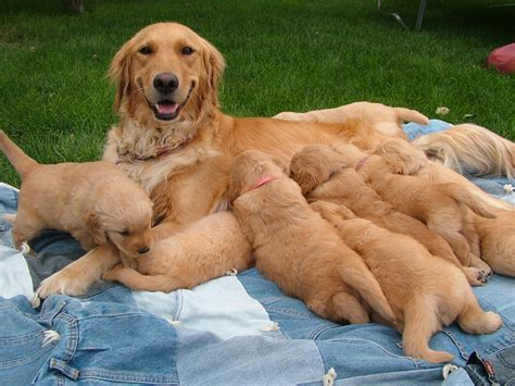 golden retriever puppies for sale in nc greensboro bred golden retriever puppies assistedlivingcares