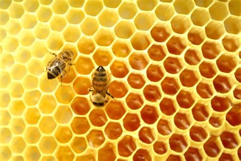 ong and ong mật ong rừng daklak