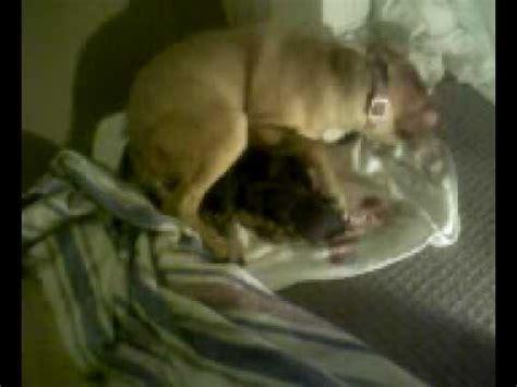 pug giving birth pug giving birth part 3
