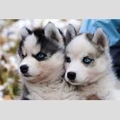 Siberian husky ...