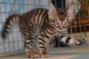Toyger male kitten brandon suffolk pets4homes