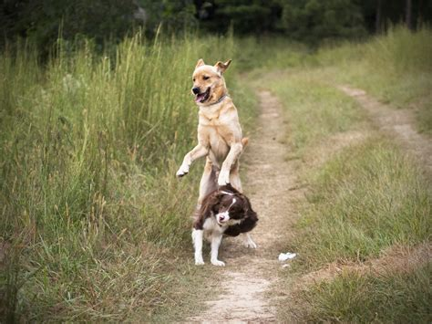how to dogs to get along with other dogs are domestic dogs losing the ability to get along with each other stilwell