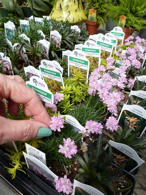 miniature plants for sale 25 best ideas about fairy garden plants on pinterest