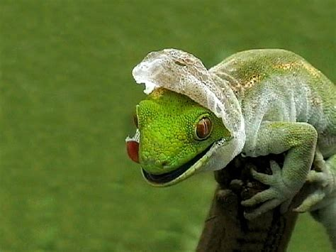 Do Lizards Shed Skin skin shedding david icke s official forums
