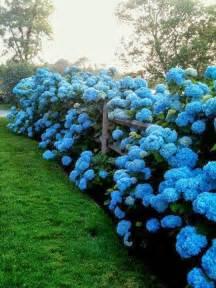 no fail tips for turning hydrangeas blue