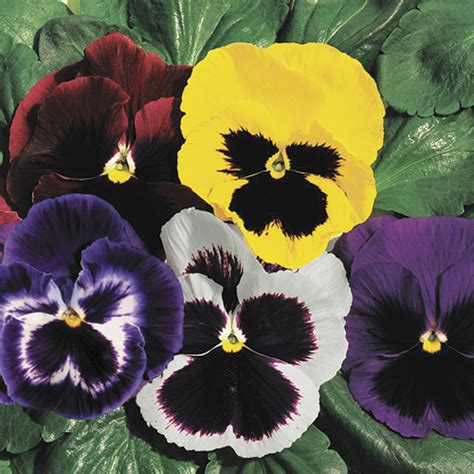 pansy colors park s whopper mix pansy seeds