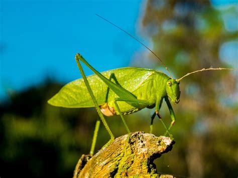 stock photo  grasshopper insect macro