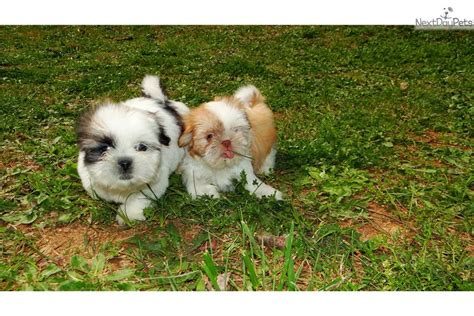 shih tzu ga shih tzu puppy for sale near atlanta d32d0efe d591