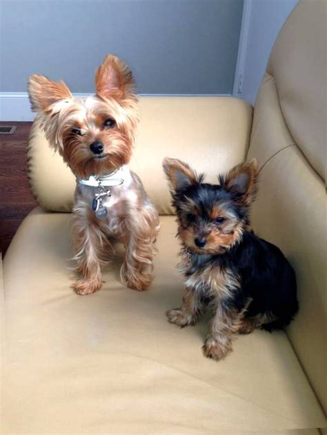 different hair cuts for toy yorkies 25 best ideas about