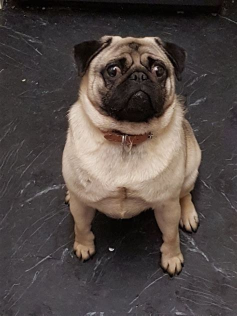 pug for sale manchester pug for sale manchester greater manchester pets4homes