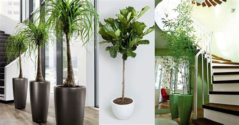 best indoor trees 18 best large indoor plants tall houseplants for home