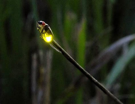 Lighting Bug by Why We Don T See Lightning Bugs In The Suburbs