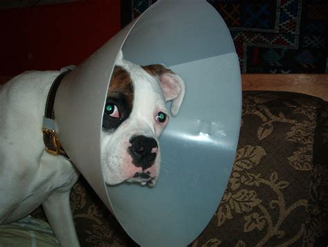 cone for dogs file cone reni in elizabethan collar jpg