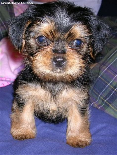 what is a shorkie puppy shorkie puppies for sale in michigan shorkie puppies for sale shorkie breeds picture