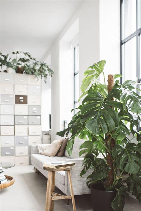 monstera  joy  plants