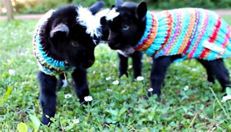 monday cute baby goats rock sweaters  mary sue
