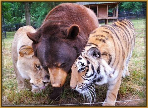 imagenes chidas tigres uanl frases archivos imagenes de tigres