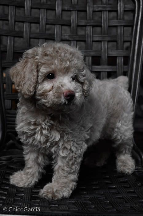 mini poodle grown poodle dogs pets sherman financial dogs