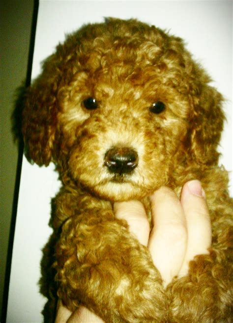 mini goldendoodle tn 1000 images about mini labradoodles on
