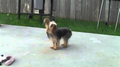 7 week yorkie puppy miss 7 week yorkie puppy