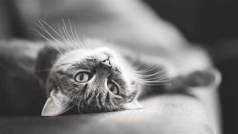 imagenes wallpapers gatos wallpapers gatos hd taringa