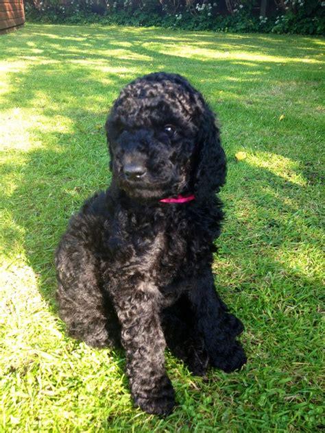 black labradoodle puppy one gorgeous black labradoodle puppy lancashire pets4homes