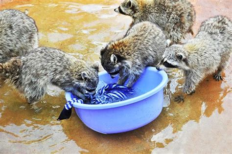 animal laundry clothes washing raccoons cause a sensation in zoo