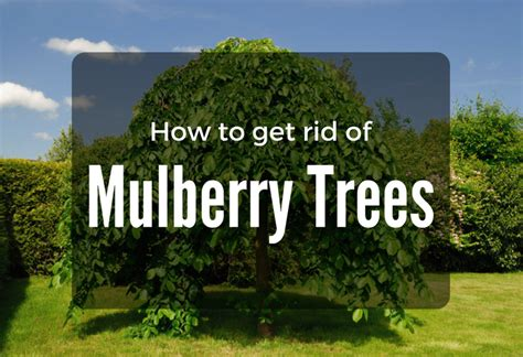 how to kill a bush killing mulberry tree roots beatiful tree