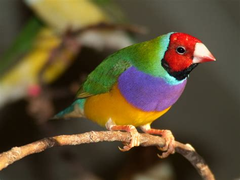 the gouldian finch beautiful bird the wildlife