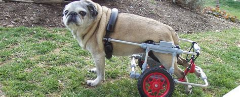 special needs dogs dogs with special needs gooddogz org choose wisely choose for