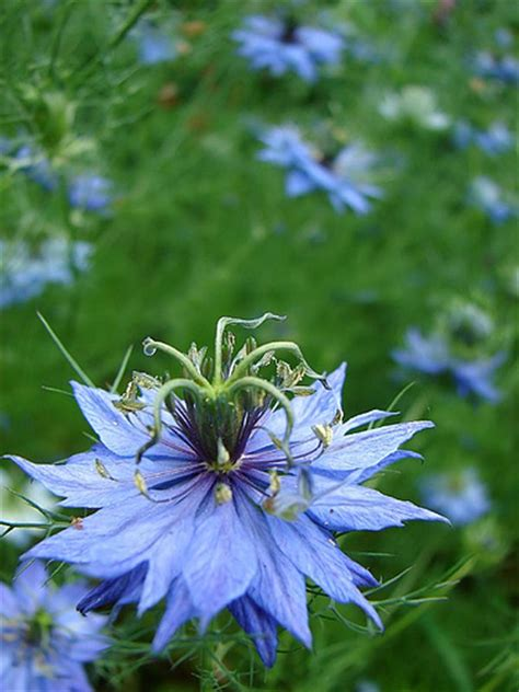 nigella flower pictures meaning blue nigella flowers