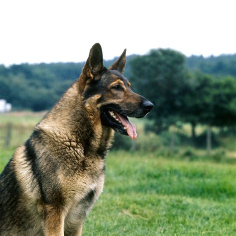 German Finder Where Can I Find A German Shepherd Dogs Our Friends Photo