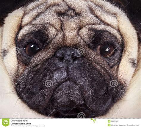 pug muzzles muzzle pug royalty free stock images image 34572439