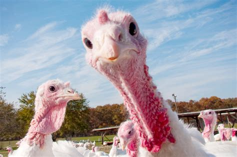 Stop eating thanksgiving turkey why it s time to give up this big fat
