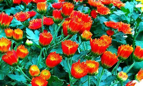 Tanaman Jadi Bunga Krisan Mix 1 artikel koeng anggrek