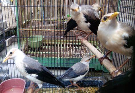 Lu Spektrum Untuk Lovebird kicau alam daftar harga burung terbaru 2015